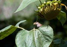 Kleine mus op een zonnebloemblad Stock Afbeelding