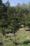 Kleine naaldboom Stock Fotografie