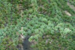 Kleine naalden op lariks Zachte groene kleur stock fotografie