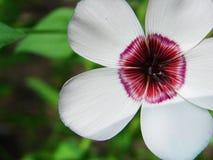 Kleine Nahaufnahme der weißen Blume des Gartens Weiße Feldblume mit einer roten Mitte Lizenzfreie Stockfotografie