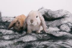 Kleine nette dekorative Kaninchen Stockfotografie