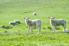 Kleine nette neugeborene Lämmer auf einem grünen Frühlingsfeld stockfotografie