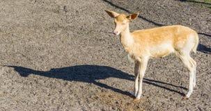 Kleine nette kleine Rotwild, die in Richtung zur Kamera Farm der Tiere betrachten Lizenzfreies Stockbild