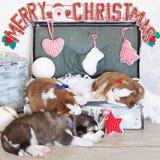 Kleine nette Welpen des sibirischen Huskys als Weihnachtsgeschenk Stockfotografie