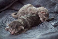 Kleine neugeborene Kätzchenlüge auf einer Decke Lizenzfreies Stockfoto