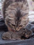 Kleine neugeborene Kätzchenlüge auf einer Decke Lizenzfreies Stockbild