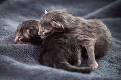 Kleine neugeborene Kätzchenlüge auf einer Decke Stockfotografie