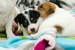 Kleine neugeborene weiße Steckfassungsrussell-Terrierhunde spielen auf einer bunten Decke Stockfoto