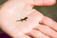Kleine newt zit op de palm van uw hand Stock Afbeeldingen