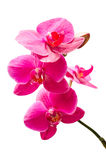 Kleine Niederlassung der purpurroten Orchideenblumen mit der Knospe Lizenzfreies Stockbild