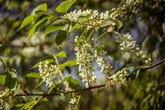 Kleine Niederlassung des blühenden Vogelkirschbaums mit neuem Frühling GR Stockbild