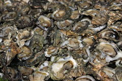 Kleine oesters Royalty-vrije Stock Afbeelding
