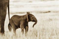 Kleine Olifantsbaby, het Wild, Zoogdieren Stock Afbeelding