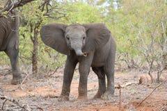 Kleine Olifantsbaby, het Wild, Zoogdieren Royalty-vrije Stock Afbeelding