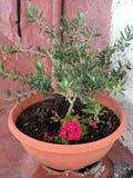Kleine Olive Tree in Pot Royalty-vrije Stock Afbeeldingen