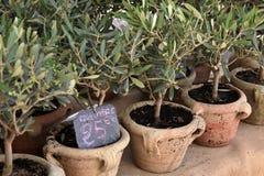Kleine Olivenbäume lizenzfreie stockfotos