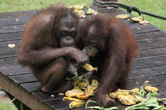 Kleine Orang-Utans Fütterung Lizenzfreies Stockbild