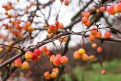Kleine orange Beeren Stockfoto