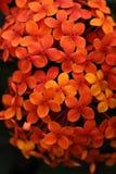 Kleine orange Blumen Stockbild