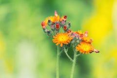 Kleine orange Blumen auf einem grünen Hintergrund im Garten Selektive Weichzeichnung Lizenzfreie Stockbilder