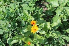 Kleine orange Blumen wachsen auf dem Gebiet Stockfotografie
