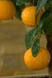 Kleine Orangen auf einem Baum. Stockbild