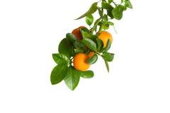 Kleine Orangen auf einer Niederlassung lokalisiert auf Weiß Lizenzfreie Stockfotografie