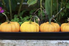Kleine Oranje op een rij Opgestelde Pompoenen Royalty-vrije Stock Foto's