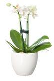 Kleine orchidee in bloempot Stock Afbeelding
