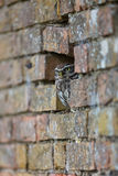 Kleine Owl Hiding In Hole In-Wand Lizenzfreie Stockfotos