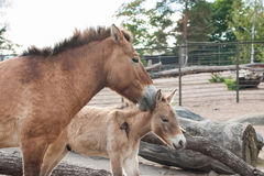 Kleine paarden in de dierentuin Stock Afbeeldingen