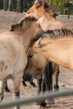 Kleine paarden in de dierentuin Royalty-vrije Stock Foto's