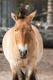 Kleine paarden in de dierentuin Royalty-vrije Stock Fotografie