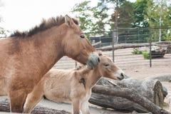 Kleine paarden in de dierentuin Stock Foto's