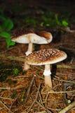 Kleine paddestoel twee in hout stock afbeelding