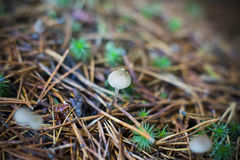 Kleine paddestoelen in het pijnboomzaagsel door ZVEREVA Royalty-vrije Stock Foto's
