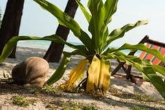 Kleine palm en kokosnoot Royalty-vrije Stock Foto