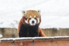 Kleine Panda rode Panda Stock Foto