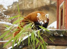 Kleine Panda rode Panda Stock Foto's