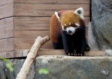 Kleine Panda (rode Panda) Stock Foto's