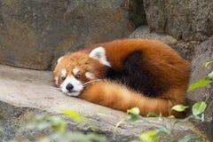 Kleine Panda (rode Panda) Royalty-vrije Stock Foto's