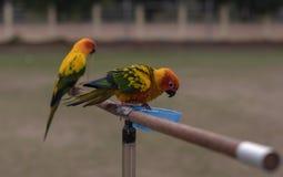 Kleine papegaai met houten spoor royalty-vrije stock fotografie