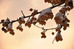 Kleine Paradiesäpfel bedeckt mit Schnee Lizenzfreie Stockfotos