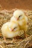 Kleine pasgeboren kippen in nest Stock Afbeeldingen