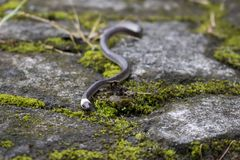 Kleine pazifische Longtail-Schlange auf Boden niedriger Winkelsicht lizenzfreie stockfotos