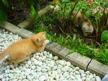 Kleine persische Katze zwei spielerisch Stockbild