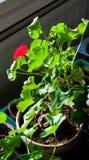 Kleine petunia Stock Foto's