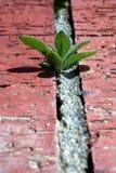 Kleine Petunia Stock Afbeeldingen