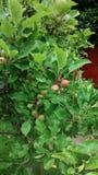Kleine Äpfel, die auf einem Baumast wachsen Lizenzfreie Stockbilder