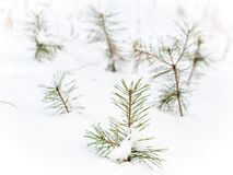 Kleine pijnbomen onder de sneeuw royalty-vrije stock afbeeldingen